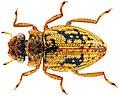 Spercheus cerisyi (10.3897-zookeys.656.11622) Figure 8.jpg