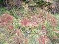 Sphagnum moss. - geograph.org.uk - 258061.jpg