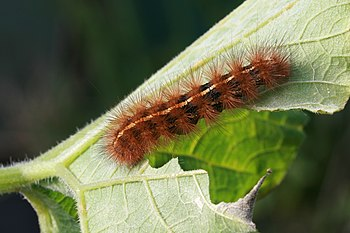 Dark-spotted tiger moth caterpillar