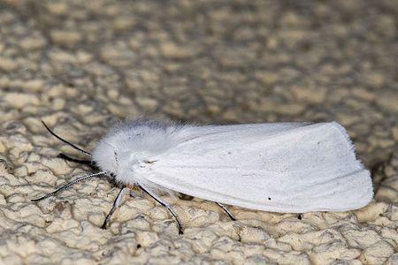 Spilosoma urticae01(js), Lodz(Poland).jpg
