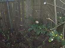Spiny-backed orb weaver and web.jpg