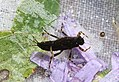 Spiny crawler mayfly, Ephemerella aurivilli (28578121354).jpg