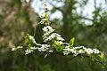 Spiraea prunifolia var. simpliciflora 2014년 4월 9일 (13768084683).jpg