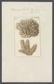 Spongia tupha - - Print - Iconographia Zoologica - Special Collections University of Amsterdam - UBAINV0274 112 02 0015.tif