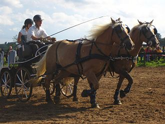 Haflinger - A combined driving event