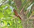 Spot-crowned Woodcreeper (Lepidocolaptes affinis) (5799145401).jpg