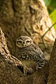 Spotted Owlet2.jpg