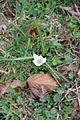 Spring crocus - Crocus vernus - panoramio.jpg