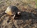 Spur-thighed tortoise in Mardakan, Azerbaijan 7.jpg