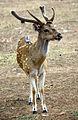 Sri Lankan axis deer (Axis axis ceylonensis).JPG