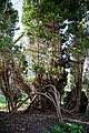 St Mary's Church, Great Canfield, Essex ~ east churchyard yew tree 02.jpg