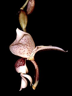 Stanhopea insignis Orchi 001.jpg