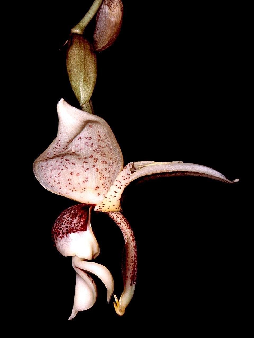 Stanhopea insignis Orchi 001