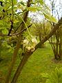 Staphylea pinnata 2017-05-05 9581.jpg