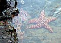Starfish (166382113).jpg
