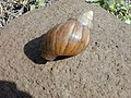 Starr-010310-0555-Sida fallax-giant African snail-West Maui-Maui (24505860156).jpg