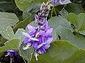 Starr-021012-0008-Pueraria montana var lobata-flowers-Honomanu Hana Hwy-Maui (23926083193).jpg