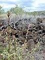 Starr-030424-0090-Amaranthus hybridus-fruits-Puu o Kali-Maui (24605198756).jpg