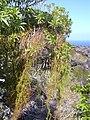 Starr-030716-0145-Cassytha filiformis-habit on hao-Kanaio-Maui (24341138160).jpg