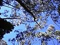 Starr-031214-0052-Eucalyptus sp-treetops-Hosmers Grove-Maui (24559548162).jpg