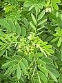 Starr-040331-0058-Senna gaudichaudii-flowers-Kanaio-Maui (24072245154).jpg
