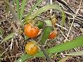 Starr-090421-6259-Solanum lycopersicum-fruit-Pukalani-Maui (24859047051).jpg