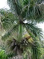 Starr-090505-7396-Roystonea regia-fruiting habit-YMCA Keanae-Maui (24954451845).jpg