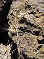 Starr-090628-1936-Bromus diandrus-seedhead-Science City-Maui (24967626665).jpg