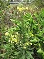 Starr-090629-1988-Oenothera biennis-flowering habit-Crater Rd Kula-Maui (24941427246).jpg