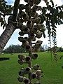 Starr-091104-0701-Polyscias racemosa-fruit-Kahanu Gardens NTBG Kaeleku Hana-Maui (24360414203).jpg