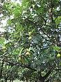 Starr-091104-8768-Artocarpus altilis-fruit and leaves-Kahanu Gardens NTBG Kaeleku Hana-Maui (24692522480).jpg