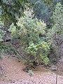 Starr-091115-1284-Fraxinus uhdei-habit fall foliage-Olinda-Maui (24622532179).jpg