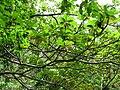 Starr-100430-2662-Terminalia sp-leaves-Iao-Maui (24404210743).jpg