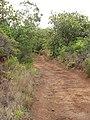 Starr-100621-7271-Syzygium cumini-habit along road-Honokowai-Maui (24947973501).jpg