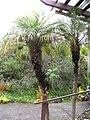 Starr-110307-2575-Phoenix roebelenii-habit-Kula Botanical Garden-Maui (24451467513).jpg