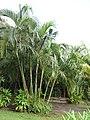 Starr-110330-3778-Chrysalidocarpus lutescens-habit-Garden of Eden Keanae-Maui (24987407001).jpg