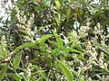 Starr-110331-4535-Buddleja salviifolia-flowers and leaves-Shibuya Farm Kula-Maui (24455002323).jpg