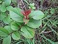 Starr-110331-4568-Lagerstroemia indica-leaves-Shibuya Farm Kula-Maui (25081926215).jpg