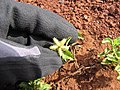 Starr-110929-9686-Acanthospermum australe-flower-Hanaula-Maui (24486429244).jpg