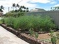 Starr-120406-9291-Asparagus officinalis-habit-Kawela-Molokai (25020995302).jpg