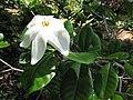 Starr-120522-6138-Gardenia sp-flower and leaves-Iao Tropical Gardens of Maui-Maui (25116876336).jpg