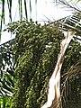 Starr-120522-6147-Roystonea regia-green fruit-Iao Tropical Gardens of Maui-Maui (25143236635).jpg