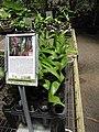 Starr-120522-6596-Chambeyronia macrocarpa-in pots-Iao Tropical Gardens of Maui-Maui (25117637816).jpg