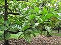 Starr-120606-7000-Artocarpus altilis-leaves-Kahanu Gardens Hana-Maui (25118308366).jpg