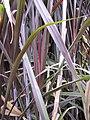 Starr-120620-7496-Cenchrus purpureus-purple bana grass leaves-Kula Agriculture Station-Maui (24850120690).jpg