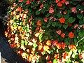 Starr-130114-1415-Impatiens walleriana-flowers with water spots-Paia-Maui (25178226496).jpg