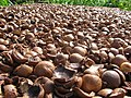 Starr-130214-1533-Macadamia integrifolia-lots of shells-Waihee-Maui (24838002879).jpg