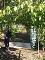 Starr-130313-1736-Strongylodon macrobotrys-flowering habit-Enchanting Floral Gardens of Kula-Maui (25181112476).jpg