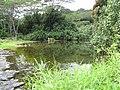 Starr-130322-3867-Hibiscus tiliaceus-habit view stream-Hanalei NWR-Kauai (25091528452).jpg