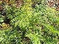 Starr-131216-2781-Daucus carota subsp sativus-leaves-Hawea Pl Olinda-Maui (24601684013).jpg
